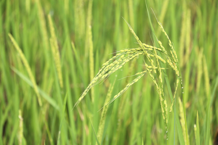 Philippines rice field in Batad village. Ear of rice - shallow focus depth.
