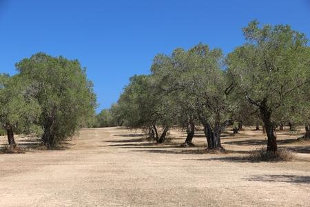 Apulië olijfbomen - olijfolie regio in de provincie Bari, Italië.