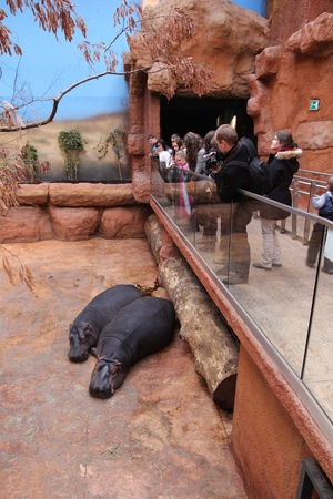 WROCLAW, POLAND - JANUARY 31, 2015: People visit hippos in Afrykarium in Wroclaw Zoo. Afrykarium is a newly built (2014) African pavilion with some 100 animal species. Editorial