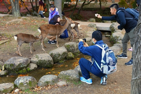NARA, JAPAN - NOVEMBER 23, 2016: Tourists feed the sacred deer in Nara Park, Japan. Local tradition says that nara deer were sacred due to a visit of Takemikazuchi, Thunder God.