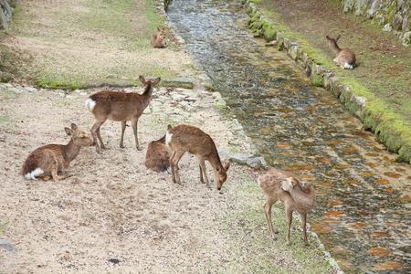Itsukushima island, Japan - one of many tame wild deer of Miyajima Reklamní fotografie - 105424921