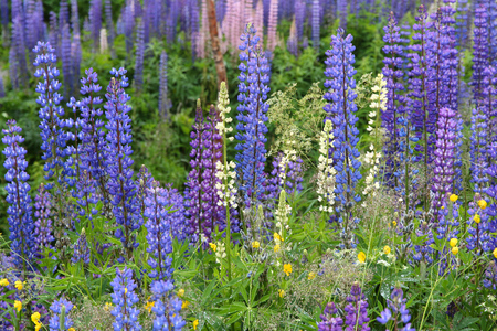 Lupine flowers in Norway. Herbaceous perennial plant in the legume family, Fabaceae. Stock Photo