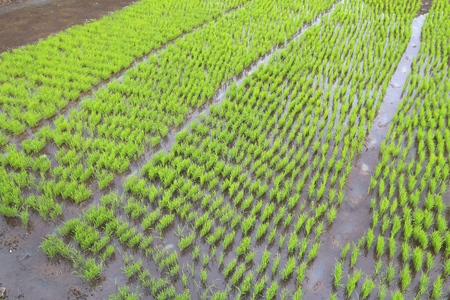 Green rice seedlings field - green rice paddy in Batad, Philippines. Stock Photo