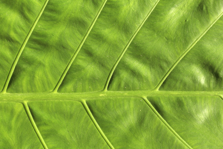 Green leaf background - large plant leaf in Philippines. Stock Photo