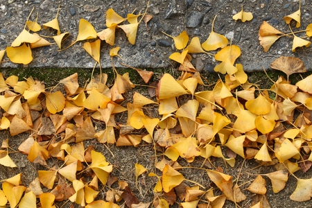 Yellow autumn ginkgo tree leaves on a sidewalk in Osaka, Japan. Fall season composition. Stock Photo