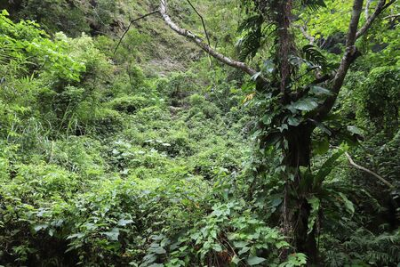 Taroko National Park in Taiwan. Lush rainforest with Monstera deliciosa plant.