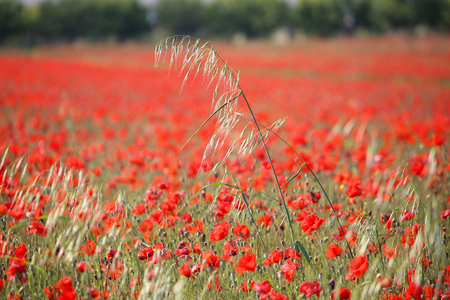 Springtime landscape - poppy field in Apulia region of Italy. Фото со стока - 114908804