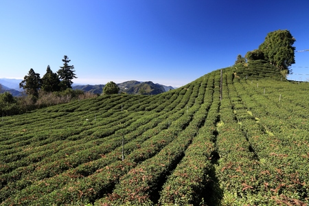 Tea farm in Taiwan. Hillside tea plantations in Shizhuo, Alishan mountains.