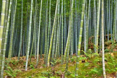 Green bamboo forest in Japan - Arashiyama near Kyoto.