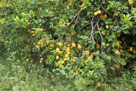 Abandoned and overgrown lemon tree grove in Corfu Island. Agriculture in Greece.