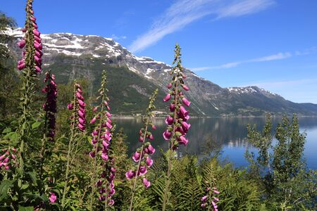 Digitalis (foxglove) flowers in Norway. Herbaceous biennial plant. Hardanger Fiord in background.