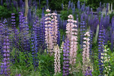 Lupine flowers in Norway. Herbaceous perennial plant in the legume family, Fabaceae. Banco de Imagens