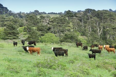 Marin County cattle ranch in California, USA. Grazing cows.