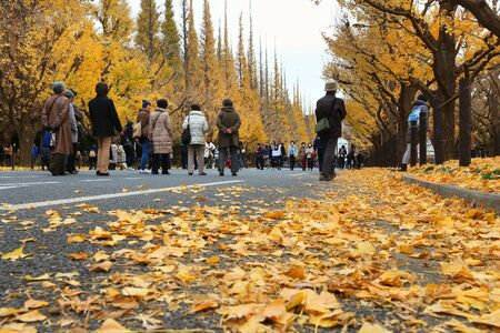 TOKYO, JAPAN - NOVEMBER 30, 2016: People celebrate Ginkgo Avenue autumn foliage in Tokyo, Japan. Icho Namiki Avenue is famous for its admiration of autumn leaves. 新聞圖片