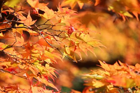 Autumn foliage in Japan. Red and orange momiji leaves (maple tree) in Kyoto. Colorful Japan autumn.
