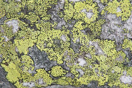 Map lichen (Rhizocarpon geographicum species) background. Lichen growing on quartzite rock.