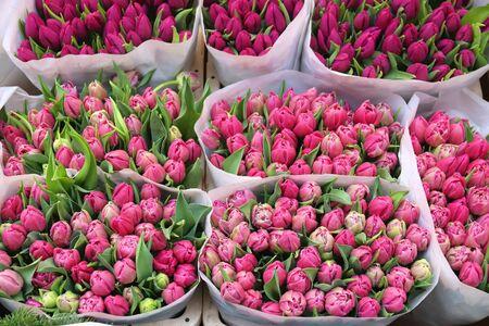 Amsterdam tulip flowers at the Flower Market. Stok Fotoğraf