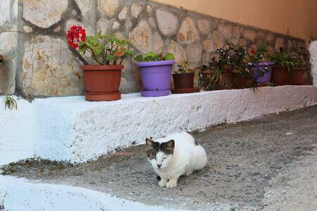 Cat in Greece - Corfu Island white tabby cat.
