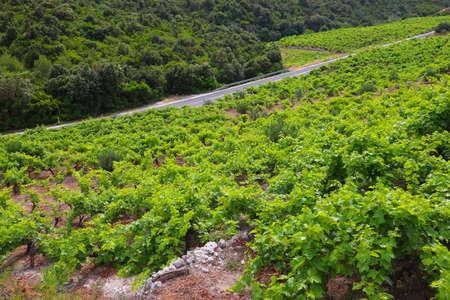 Peljesac peninsula vineyard. Croatia wine making region.
