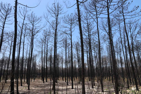 Forest fire damage. Burned down forest aftermath in Portugal, near Aveiro. Dead charred trees after wildfire.