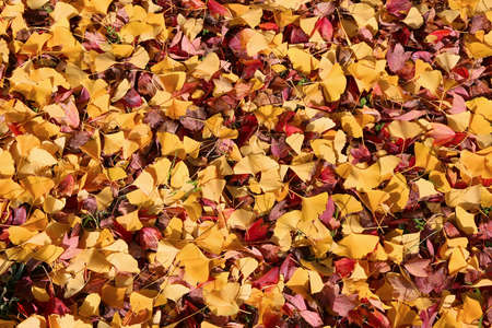 Yellow autumn ginkgo tree leaves on the ground in Osaka, Japan. Fall season composition.