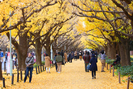 TOKYO, JAPAN - NOVEMBER 30, 2016: People celebrate Ginkgo Avenue autumn foliage in Tokyo, Japan. Icho Namiki Avenue is famous for its admiration of autumn leaves. Sajtókép