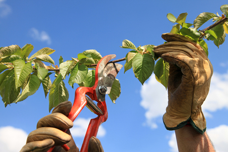 pruning with scissors 4378f