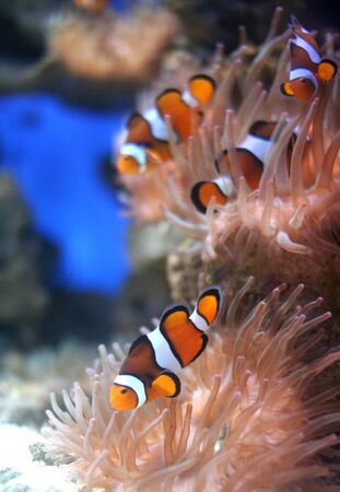 Nemo Fish. The clown fish also known as Nemo feeding on a pink anenome on coral reef. Great DOF focused on foreground fish. photo