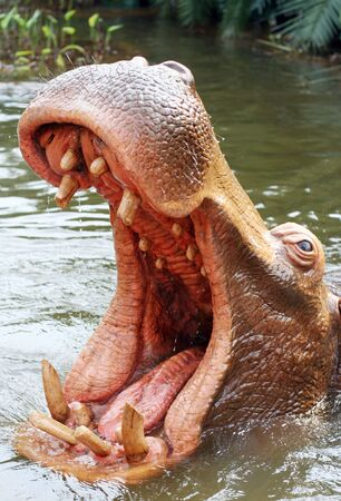 appears: Hippo shouting in a river. Usually appears unexpected from underneath water. Stock Photo