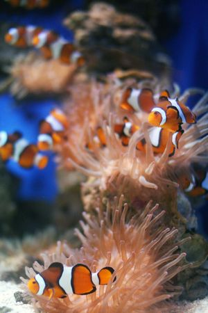 The clown fish also known as Stock Photo - 1904083
