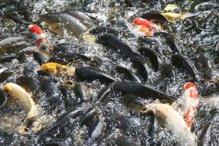 koy: Plenty of hungry carp fish swimming in the pond (typical Chinese, Korean, Japanese park pond fish)