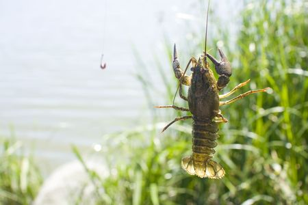 Live crayfish caught on a fisherman's hook against the background of a lake and green vegetation. Stock Photo - 5240129