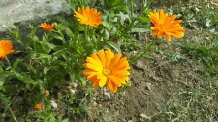 pot marigold: Calendula - medicinal plant  Orange flowers