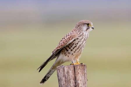 Common Kastrel   Falco tinnunculus