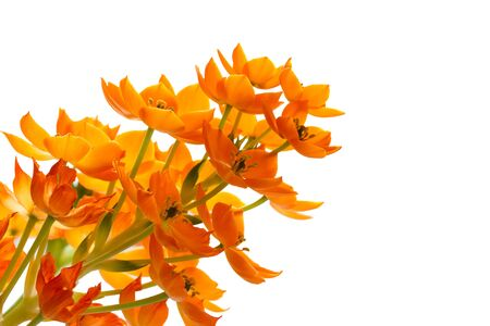 Blooming yellow Ornithogalum Dubium on white background  Stock Photo