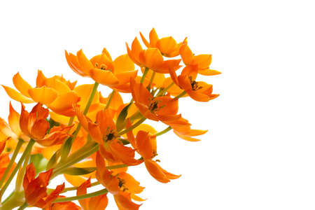 ornithogalum: Blooming yellow Ornithogalum Dubium on white background  Stock Photo