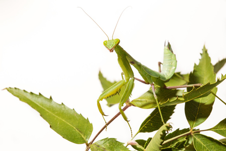 predatory insect: Praying Mantis isolated on white background clipping path