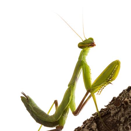 creepy crawly: Praying Mantis isolated on white background clipping path