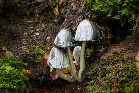 shaggy: Group of shaggy ink cap mushrooms Coprinus sensu lato in a forest
