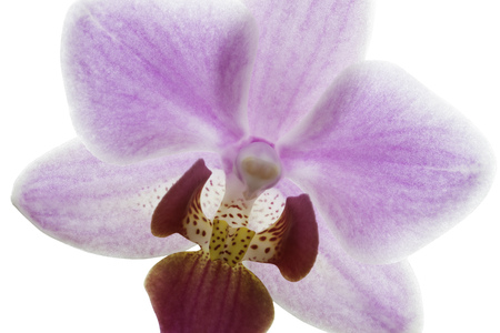 Pink streaked orchid flowers Stock Photo