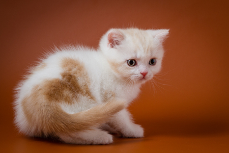 Cute red and white kitten sitting on the orange background Stock Photo