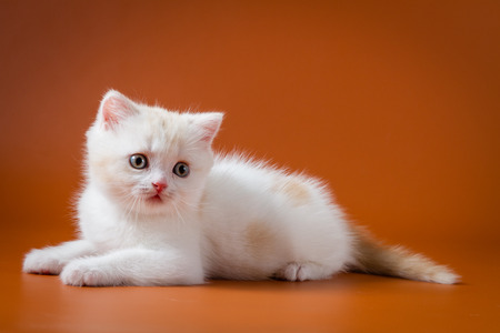 Cute red and white Scottish kitten lying on the orange background