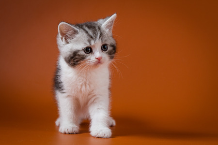 Scottish straight bi-color tabby kitten staying four legs against a orange background, one month old.