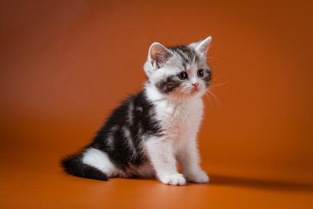 Scottish straight bi-color tabby kitten sitting against a orange background
