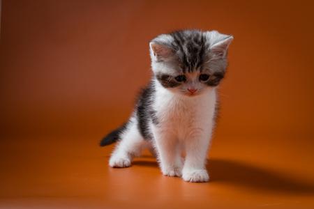 Scottish Straight bi-color tabby kitten staying four legs against a orange background Stock Photo