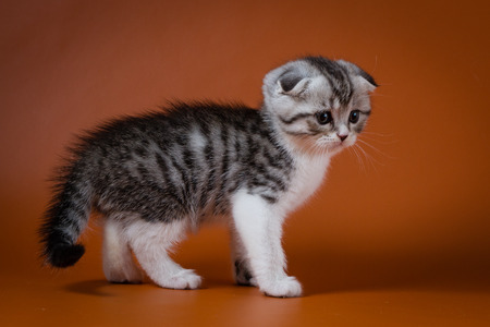 Cute Scottish Fold kitten sitting on a white background, one month old.