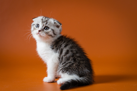 Cute kitten sitting on a white background, one month old.
