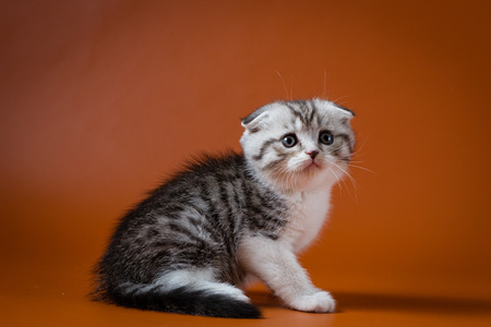 Cute Scottish fold bi-color kitten sitting on orange background