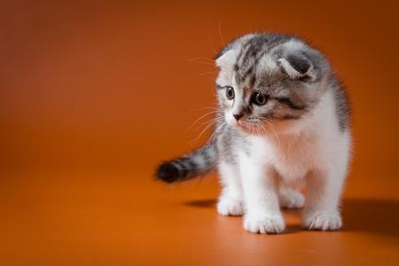 Cute Scottish fold bi-color kitten staying four legs against a orange background
