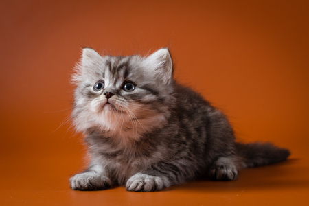 Portrait of Scottish long-haired silver-haired gray kitten lying against a orange background Stock Photo